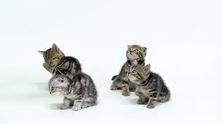 longhair : Four scottish fold and straight kittens look up in a white studio. White background. Slow motion Stock Footage