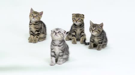 longhair : Little scottish kittens look up and walk on the floor. White background. Slow motion