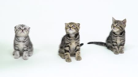 longhair : Three kittens look up in a white studio. White background. Slow motion Stock Footage