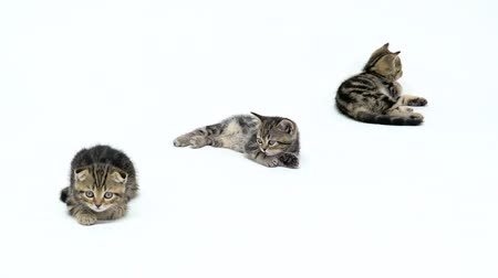 longhair : Kittens lick their feet lying on the floor. White background. Slow motion Stock Footage