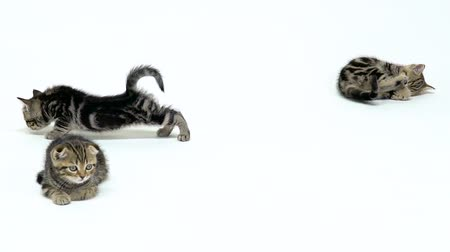 longhair : Three kittens rest on the floor. White background. Slow motion