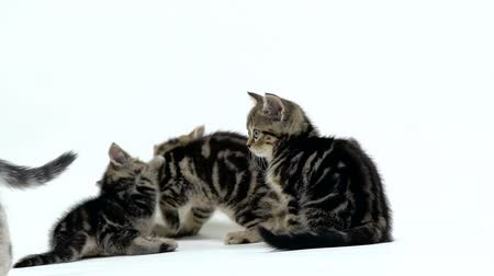 longhair : Many scottish fold and straight kittens are crawling in the sides. White background. Slow motion Stock Footage