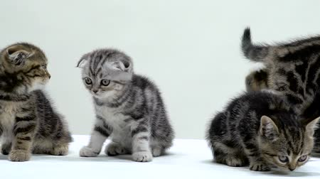 longhair : Kittens sit and sniff the floor. White background. Slow motion Stock Footage