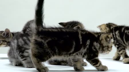 mourek : Kittens scottish fold and straight creep and look around. White background. Slow motion