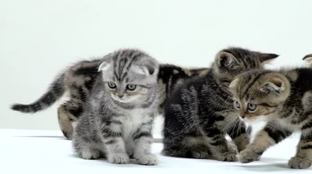 longhair : Kittens scottish fold and straight creep and look around. White background. Slow motion