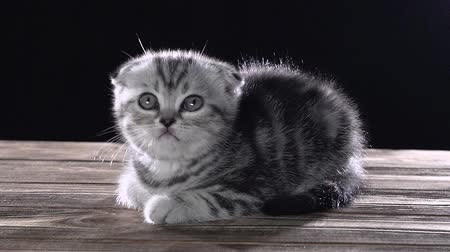 longhair : Striped kitten scottish fold crawls on the floor . Black background. Slow motion