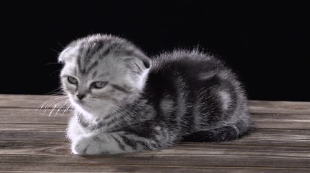longhair : Folded little kitten scottish fold lies and licks its paws. Black background. Slow motion Stock Footage