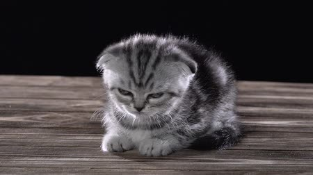 longhair : Small kitten scottish fold is sleeping in room. Black background. Slow motion Stock Footage