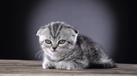 sitting floor : Kitten scottish fold is sleeping in room. Black background. Slow motion