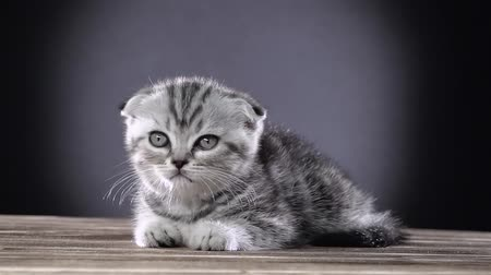longhair : Kitten scottish fold lies and licks its paws. Black background. Slow motion