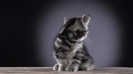 longhair : Kitten scottish straight sits and watches something. Black background. Slow motion