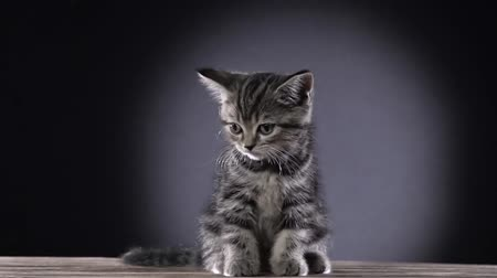 longhair : Small striped scottish straight kitten sits on a wooden floor . Black background. Slow motion