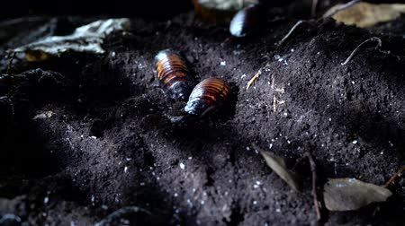 madagaskar : Madagascar hissing cockroach in the night forest. Halloween background Dostupné videozáznamy