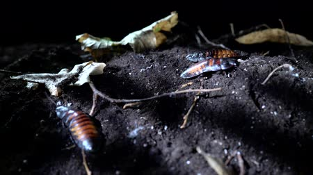 madagaskar : Madagascar Cockroaches crawling on the soil in the night forest.