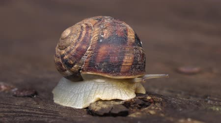caracol : Garden snail crawling on a wooden surface. Close up