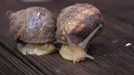 lerdo : Two big garden snails crawling. Close up