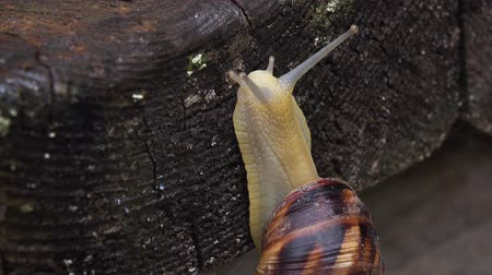 lerdo : Snail crawling up a wooden board. Close up Vídeos