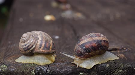 caracol : Couple of snail is creeping