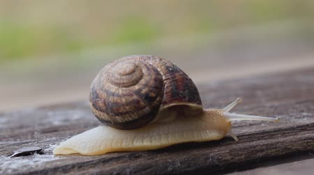 lerdo : Garden snail crawling on a wooden surface