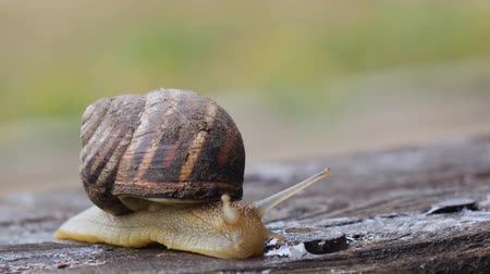 lerdo : Snail creeps through the board in the garden