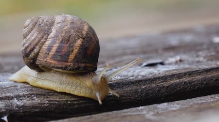 měkkýš : One snail on a wooden board in our garden