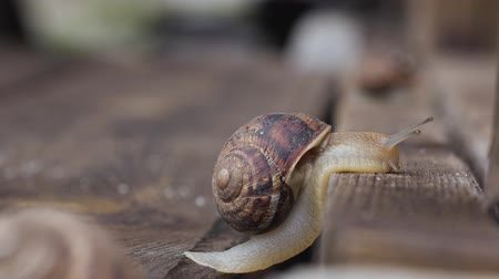 lerdo : Snail crawling up a wooden board. Close up. side view
