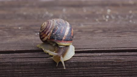 lerdo : Garden snail crawling on a wooden surface. Close up