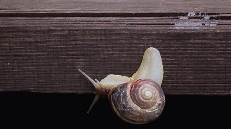 lerdo : Snail crawling down a wooden board Stock Footage