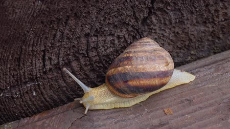 lerdo : One snail on a wooden surface Stock Footage
