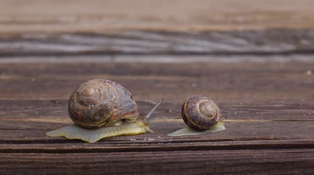 měkkýš : Big and small snail crawling on a wooden board