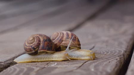 lerdo : Two snails in love. Close up