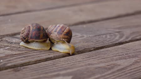 lerdo : Couple garden snails mating life cycle of a snail