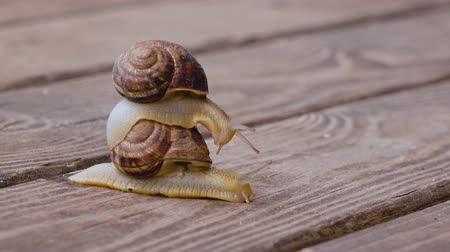 lerdo : Snail couple make love, close up Stock Footage