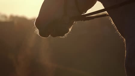 Muzzle horse closeup at sunset. Slow motion. Close up