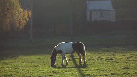 Stallion eats grass on a green meadow. Slow motion