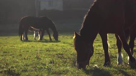törpe : Horses chewing grass on a lawn. Slow motion Stock mozgókép