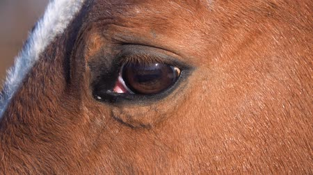 stable fly : Horse eye close up. Slow motion
