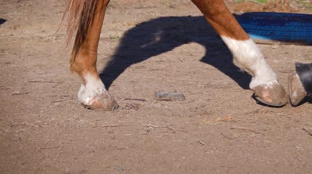 stable fly : Close up horse hooves walking around the pen. Slow motion Stock Footage