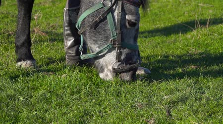 juba : Closeup of a horses muzzle as it eats grass. Slow motion. Close up