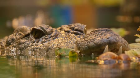 закрывать : Crocodile close up