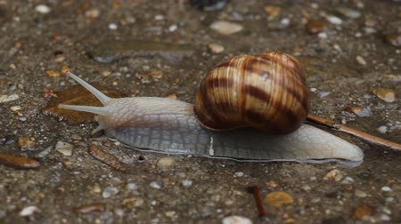 caracol : Close-up of a snail on the sidewalk after a rain