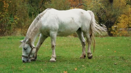 пони : Slow Motion White Horse Eating Green Grass On A Field