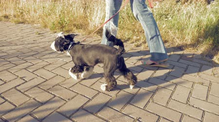 dog sitter : Young woman adjusting leash, caressing little funny dog and walking along the path in the park. Enjoying of active healthy walk with pet at summer sunny day.