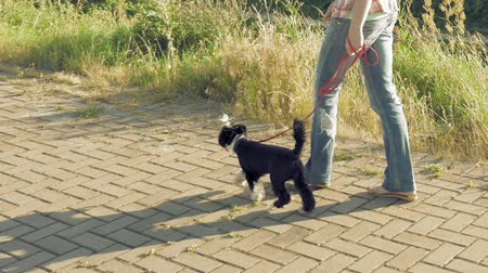 dog sitter : Young woman going along the path with little funny dog on a leash in the park on city background. Enjoying of active healthy walk with pet at summer sunny day. Stock Footage