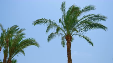 areca : Palm trees leaves and branches are waving and flying on the wind. Tropical summer resort recreational serene scene.