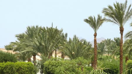 areca : Tropical palm trees and green bushes and trees in the wind under blue sky with mountains in background. Green oasis in the middle of the desert. Pensive and serene nature scene.