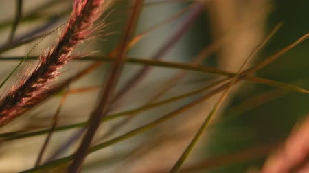 iluminado para trás : Grass ear spikes at the sunset. Spikelets are flying in the wind against the sun at sunset. Suitable for vertical format video. Stock Footage