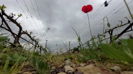 blooming time lapse : Lonely red poppy at vineyard