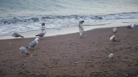 krym : gulls walking along the beach among waves