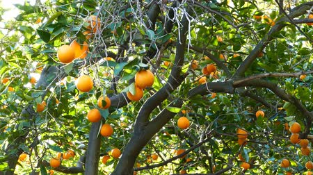 food state : Mature flesh orange hanging in the tree, California Stock Footage